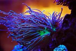 Purple long polyps coral in reef aquarium tank