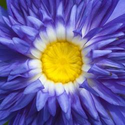 Purple lotus close up as texture