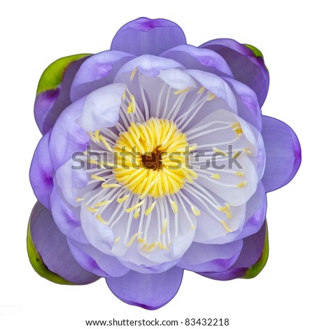 purple lotus flower on isolate background