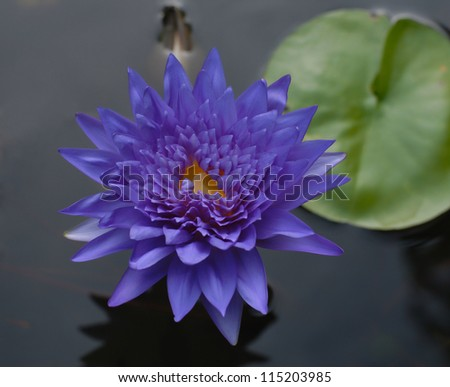 purple lotus flower on pond
