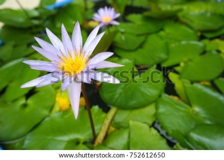 Free photos big lotus flower avopix purple lotus in big bowl 752612650 mightylinksfo