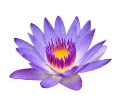 purple lotus isolated on white
