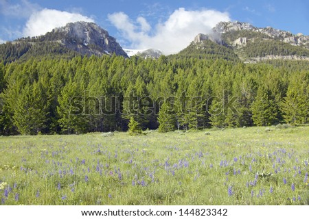 purple lupine and mountains in...