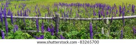 Purple lupines along a rail fence on Mount Desert Island, Acadia National Park,Maine