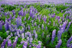 Purple Lupinus flower field, Iceland, 2016 summer