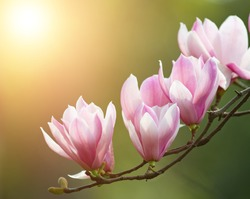 Purple magnolia and flower buds blooming in spring