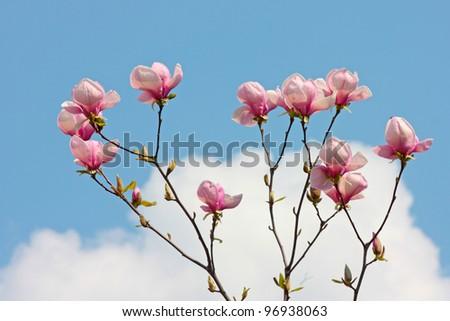 purple magnolia flowers beautiful  sky