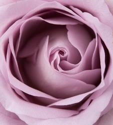 purple, mauve color fresh summer rose macro shot, natural abstra