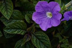 Purple mexican petunia beautiful blooming flower green leaf background. High quality photo