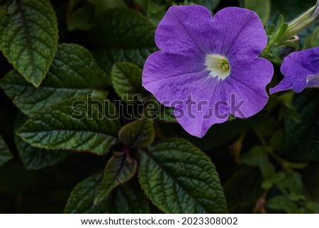 Purple mexican petunia beautiful blooming flower green leaf background. High quality photo Сток-фото ©