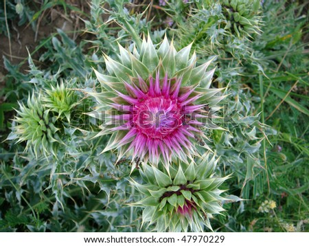 Purple Milk Thistle flower. Genus Silybum Adans. Common names include Blessed Thistle, Holy Thistle, Marian Thistle, St-Mary'?s Thistle, and Variegated Thistle. Milk Thistle is a herbal remedy.