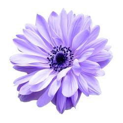 purple mona lisa blush flower in garden under sunshine