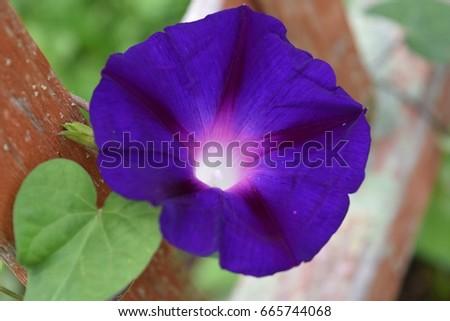 Purple Morning Glory blossom on trellis #665744068