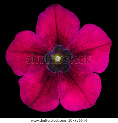 Purple Morning Glory Flower Isolated on Black Background
