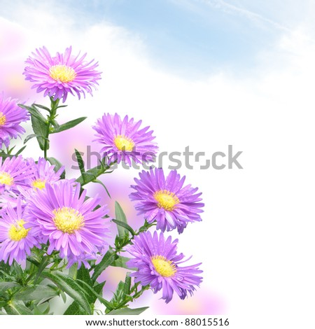 Purple mum flowers on the abstract background