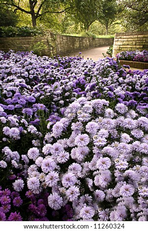 Purple Mums and Walkway