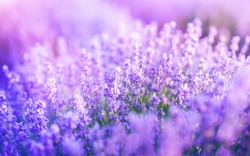 Purple or violet lavender flowers blooming. Concept of beauty, aroma and aromatherapy.