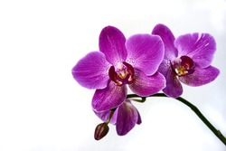 Purple orchid flower phalaenopsis, phalaenopsis or falah on a white background. Purple phalaenopsis flowers on the right. known as butterfly orchids. Selective focus. There is a place for your text.