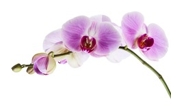 Purple orchid flower, Pink phalaenopsis (moth) orchid isolated on white background, with clipping path