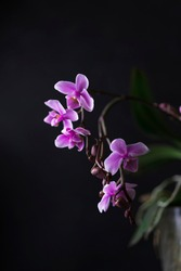 Purple Orchid flowers group, open and buds at peak flowering with plain, black background. Interior vertical photo, studio art image, copy space.
