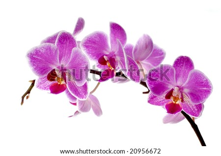 Purple And White Orchid Flowers Purple Orchid Flowers Isolated