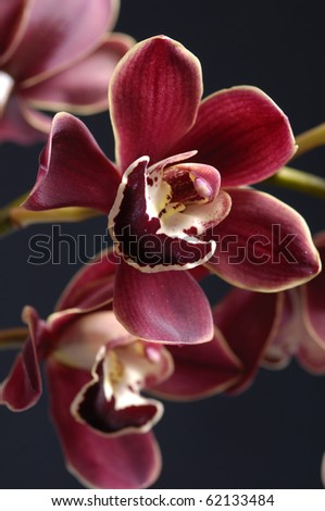 Purple orchid isolated on black background