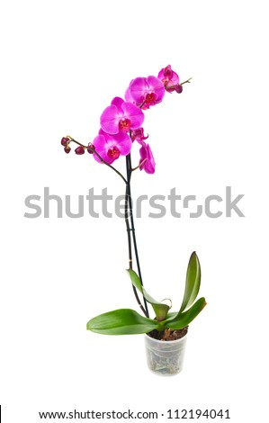 purple orchid isolated on white background #112194041