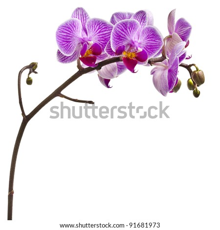 purple orchid isolated on white background