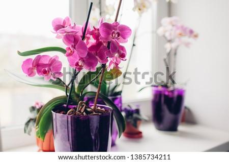 Purple orchid on windowsill. Home plants care.