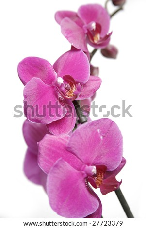 Purple orchid petals on white background