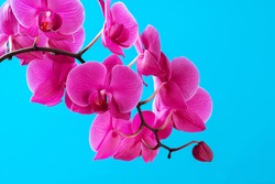 Purple orchid plant blossom close up on blue background