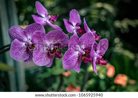 Purple orchid with green leaves blurred background #1065925940