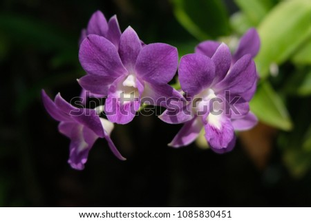 Purple orchids are beautiful flowering bouquet, Grows fast, grows fast, grows fast and grows throughout the year. #1085830451