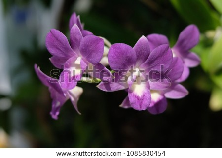 Purple orchids are beautiful flowering bouquet, Grows fast, grows fast, grows fast and grows throughout the year. #1085830454