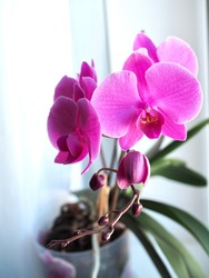 Purple orchids flower in the pot on windowsill. Spring and summer nature background, postcard design. Phalaenopsis orchids blooming on window of cozy house. Orchid flower garden. Copy space