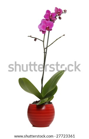 Purple orchids in red flower pot on white background