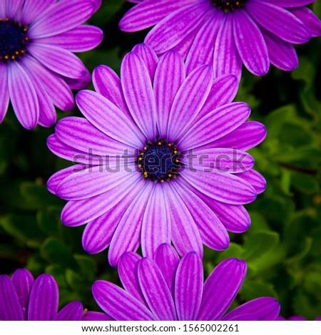 Purple Osteospermum flower on green floral background. also known as African daisy, South African daisy, Cape daisy and blue-eyed daisy. Stock photo ©