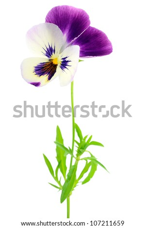 Purple pansy flower isolated on white background
