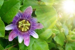 purple passion flower, passion flower