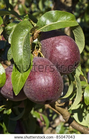 Purple Pear Orchard