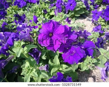 Purple Peonies Flowers Ez Canvas