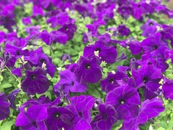 Purple Petunia flowers , purple petunia flowers in the garden. Closeup Petunia flowers.