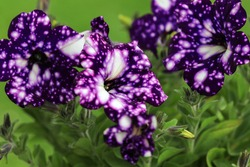 Purple Petunia - Surfinia Flowers with White speckles Looking like a Galaxy in the garden