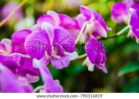 purple phalaenopsis dendrobium...