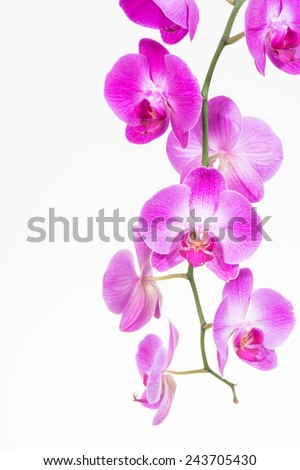 purple phalaenopsis orchids...