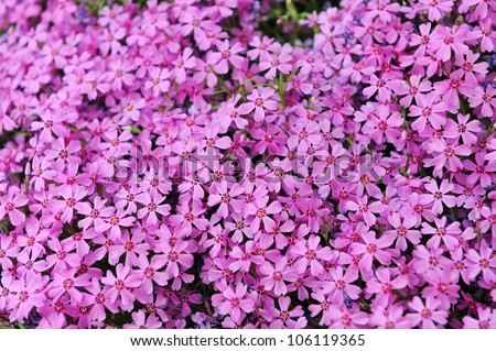 Purple Phlox Subulata Small Flowers Bloom In Late Spring