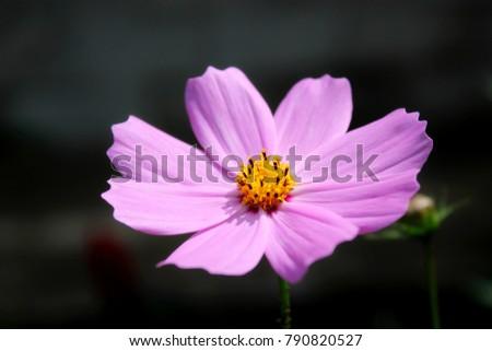 Purple, pink, cosmos flower in garden on dark background with buds. Close up pink cosmos flower as background. Amazing pink cosmos flower gray backgraund. Card pink cosmos flower background.