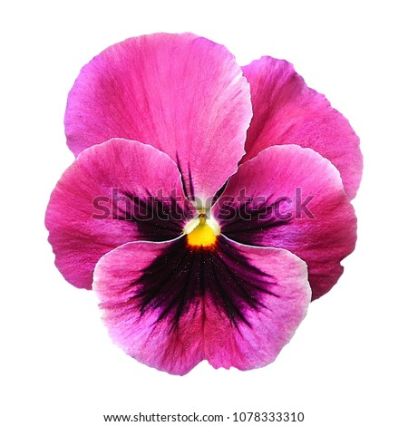 Shutterstock puzzlepix purple pink pansy flower on white isolated background with saved clipping path mightylinksfo Choice Image