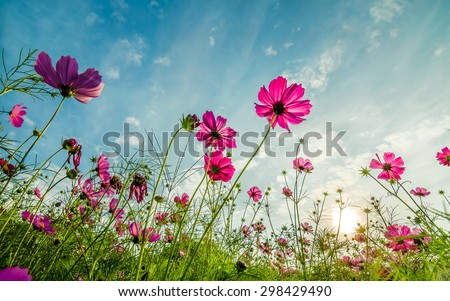 Purple, pink, red, cosmos flowers in the garden with  blue sky and clouds background in vintage style soft focus. #298429490