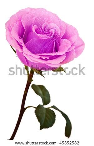 purple-pink rose isola...